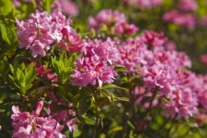 Alpenrosenblüte  *Touristinformation Wertach*